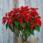 Christmas Flowers Plant- Poinsettia Plant 2