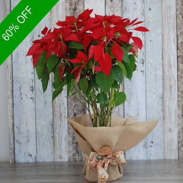 Christmas Flowers Plant- Poinsettia Plant