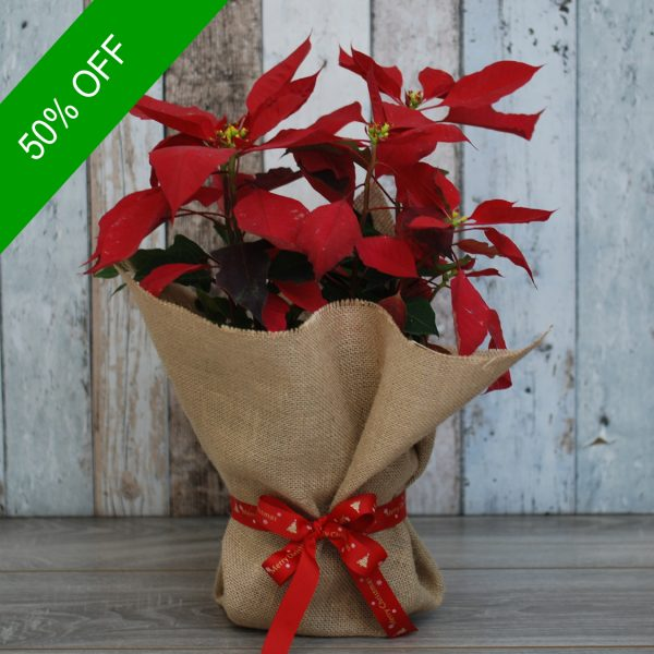 Christmas Flowers Plant- Poinsettia Plant Small